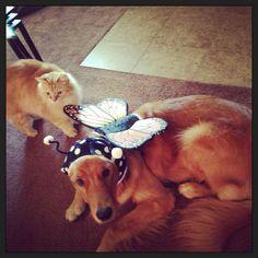Beautiful butterfly dog - golden retriever
