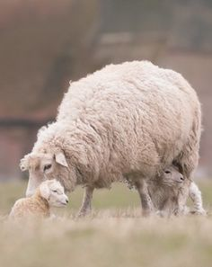 Cute Animals and Baby Animal Pics - Cute n Tiny Baby penguin baby animals Lovely sheep family Beautiful Creatures, Animals Beautiful, Farm Animals, Cute Animals, Sheep And Lamb, Baby Sheep, Lord Is My Shepherd, Counting Sheep, Tier Fotos