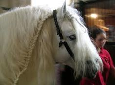 """The Boulonnais, also known as the """"White Marble Horse"""", is a heavy draft horse breed. It is known for its large but elegant appearance and is usually gray, although chestnut and black are also allowed by the French breed registry. Originally there were several sub-types, but they were crossbred until only one is seen today. The breed's origins trace to a period before the Crusades and, during the 17th century, Spanish Barb, Arabian and Andalusian blood was added to create the modern type."""