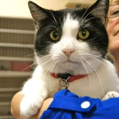 Adopted! Adam is a 2 year old male black and white domestic short hair cat. You can't go wrong with this awesome boy. Adam wants you to pet him and he would love it more if you picked him up and carried him around while you do it.  A playful cat, he would be fine in a house with other cat playmates. www.poainc.org #blackandwhite #adoption