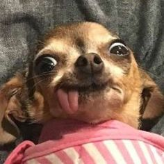 Funny Chihuahua Pictures, Funny Dog Faces, Cute Funny Dogs, Funny Dog Pictures, Cute Funny Animals, Baby Animals Super Cute, Cute Baby Dogs, Cute Little Animals, Cute Puppies