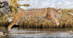Donald Quintana captured this amazing moment of a female bobcat on the hunt along the Madison river in Yellowstone National Park.