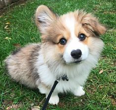 Things that make you go AWW! Like puppies, bunnies, babies, and so on. Funny Animal Pictures, Cute Funny Animals, Cute Baby Animals, Animals And Pets, Baby Corgi, Cute Corgi, Fluffy Corgi, Cute Dogs And Puppies, Dog Love
