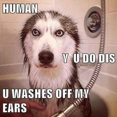 Husky bath... More