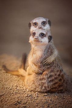 Meerkats!!!