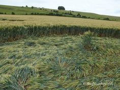 Crop Circle at  Hackpen Hill, nr Broad Hinton. Wiltshire. Reported 16th July 2016