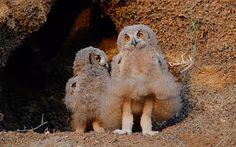 POTD-Owl-Monroe_3496594e.jpg (300×187)