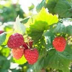 Growing Raspberries in Containers / sites gives you lots of info on how to grow raspberries in a container