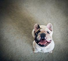 #french bulldog
