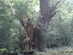 Friederikeneiche 1200 years old, Wildeshausener Geest in Nothern Germany