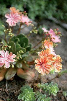 Istuta mehikasveihin kuuluva levisia (LewisiaCotyledon-ryhmä) aurinkoiseen paikkaan, jossa vesi ei seiso. Mehikasvi: edistää kivikkokasvien, kuten pian kukkimaan ryhtyvän partamehitähden (Sempervivum ciliosum), kasvua.