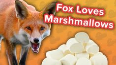 Marshmallow-Loving Foxes & Klepto Puppies! // Funny Animal Compilation… #funnypetvideos #funnyanimals