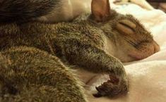 Adorable Sleeping squirrel in cozy human bed. Hamsters, Rodents, Cute Creatures, Beautiful Creatures, Animals Beautiful, Beautiful Birds, Cute Squirrel, Baby Squirrel, Squirrels