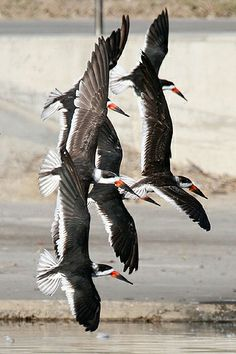 Black Skimmers in flight. LOVE this photo! (April 27)