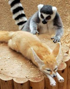 Should I poke it?... Haaaa a ring-tailed lemur and fennec fox~