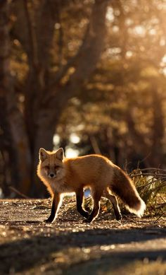 Red Fox by Brittany Crossman - National Geographic Your Shot