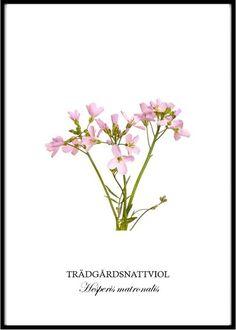Poster - Trädgårdsnattviol