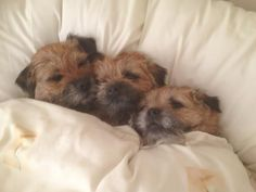 Cute Boarders, Cute Puppies, Cute Dogs, Border Terrier, West Highland Terrier, Brown Dog, Gull, Cute Funny Animals, Terriers