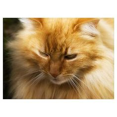 Close up of a golden-orange Norwegian Forest cat