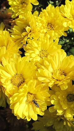 chrysanthemums, flowers, yellow, bee, pollinated