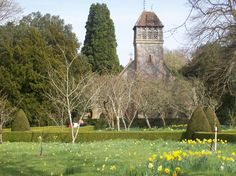 Daffodils in the church yard after Easter; Hinton Ampner, a National Trust in Hampshire.