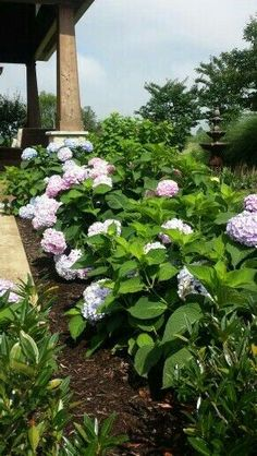 Hydrangea and Crepe Myrtle planted near garden fountain.