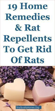 Yard Rats Natural Killing With Peppermint Oil