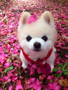 Cyclists And Dogs Baby Puppies, Cute Puppies, Cute Baby Animals, Animals And Pets, Pet Dogs, Dog Cat, World Cutest Dog, Pomes, Pomeranian Puppy
