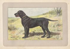 1907 Dog Art Pen Ink Watercolor Print Mahler France Curly Coated Retriever | eBay