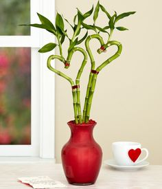 The easy-care lucky bamboo design ideas and decorations - GoWritter Feng Shui Garden Design, Bonsai, Lucky Bamboo Plants, Bamboo Stalks, Send Flowers Online, Online Flower Delivery, Bamboo Design, Indoor Plants, House Plants