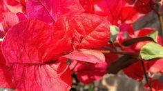 https://flic.kr/p/DUvCbw   Buganvilla, primavera - roja