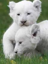 White Lions (not albinos)