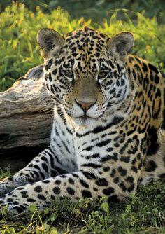 Jaguar (Panthera onca) by Konstantinos Arvanitopoulos - Photo 24705051 - 500px