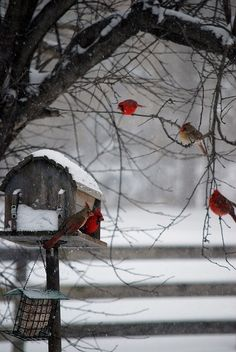 Winter day in the country… Red Birds, White Snow.