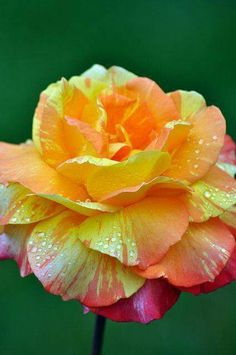 Hybrid tea Rose.