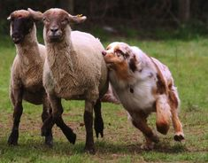 25 Behaviours That Show How Rude Australian Shepherds Can Be Merle Australian Shepherd, Aussie Shepherd, Aussie Puppies, Dogs And Puppies, Australian Puppies, Doggies, Blue Merle, Animals Beautiful, Cute Animals