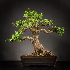 Mini Jade Bonsai (Portulacaria Afra)