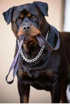 More About The CalmRottweiler  Grooming  #rottweilerbreed #rottweiler_kingdom #rottweilerphotography