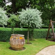 Image result for garden, pittosporum silver sheen, lilly pilly