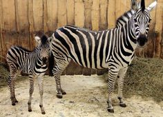A Chapman's Zebra! The female, named 'Jin', was born to her striped mother, 'Juou.' #ZoobornsMotherlyLove Credit: Liberec Zoo