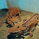 Dinosaur/dinosaur genera: Dimetrodon attacking an Eryops, both living during the Permian period 245-280 million years ago, long before the dinosaurs evolved. Dimetrodon was a mammal-like reptile, an ancestor of mammals, about 11 feet long weighing 500+ pounds, with a large sale-like flap of skin along its back supported by long, bony spines. It had sharp teeth and clawed feet. The Eryops was a common, primitive amphibian living in swamps, a meat eater with stout body and very wide ribs. It…