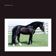 Discover: R Blue Moon-Connemara Stallion. The IDEAL choice for your Thoroughbred and Sport Horse Mares. Proven to cross beautifully with Thoroughbred mares for Event Horse Breeding. Connemara Pony, Horse Breeds, Thoroughbred, Sport, Blue Moon, Dressage, Ponies, Ranch, Animals