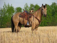 Buckskin Quarter Horse Gelding