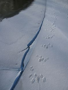 Tracking along the river and beaver pond - animal track photos
