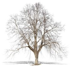 A big cut out bare tree in wintertime