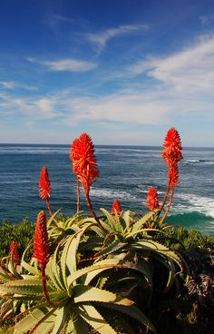 Aloes By the Shore (by Bill Gracey) La Jolla California, Planting Succulents, Succulent Plants, Seattle Skyline, Wild Flowers, Wildlife, Garden, Pictures, Photography