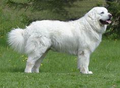 Podchalanski Shepherd Dog      5. Owczarek podhalański | Rasy Psów...