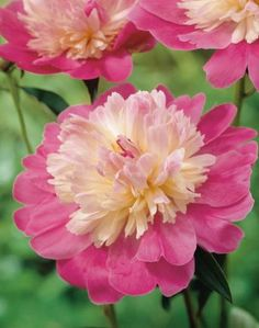 Bouquet, Nature Photos, Beautiful Flowers, Illustration, Wall, Inspiration, Gardens, Paintings, Paeonia Lactiflora