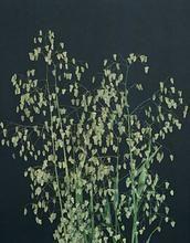 Ornamental Grass Seed - Briza Minor Little Quaker