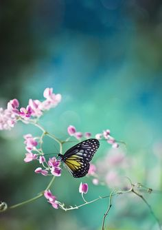 black & yellow butterfly on purple buds; blue background